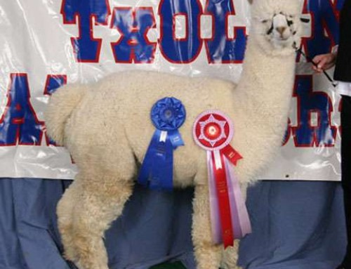 SHOW AWARDS EARNED FOR THE SUNDANCER ALPACA HERD