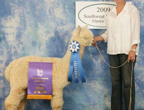 SNDRs CONDOR DOMINATES   THE WHITE MALE HUACAYA CLASS AT THE  2009 SOUTHWEST REGIONAL ALPACA SHOW