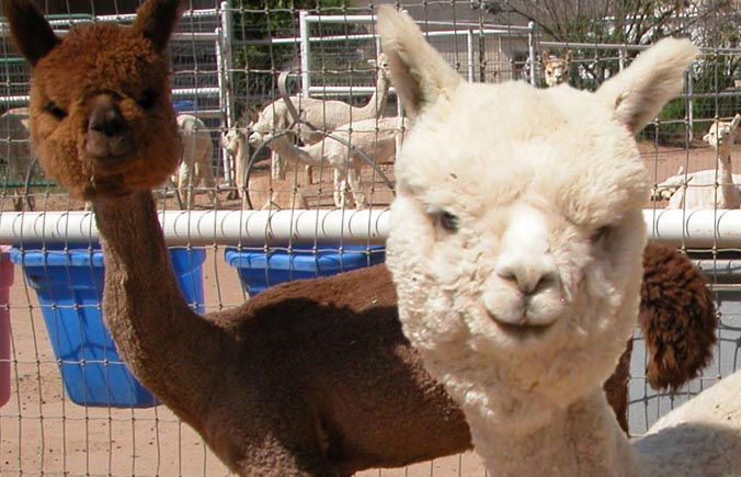 Come Meet the Alpacas